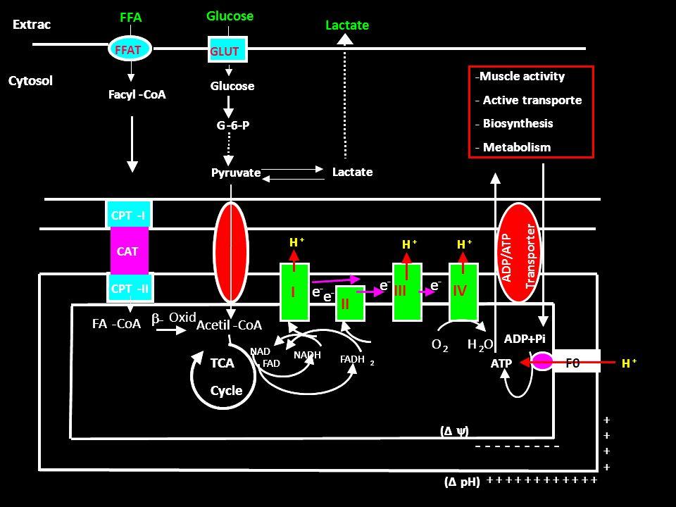 I II III IV e Acetil - CoA TCA Cycle Extrac Cytosol F0 O H FA CoA b