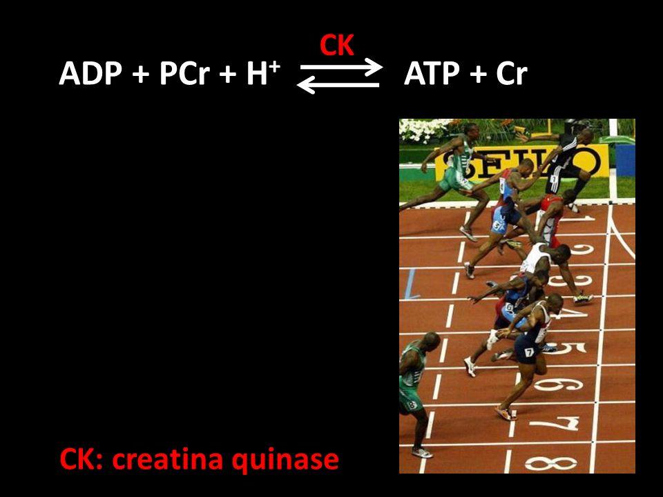 CK ADP + PCr + H+ ATP + Cr CK: creatina quinase