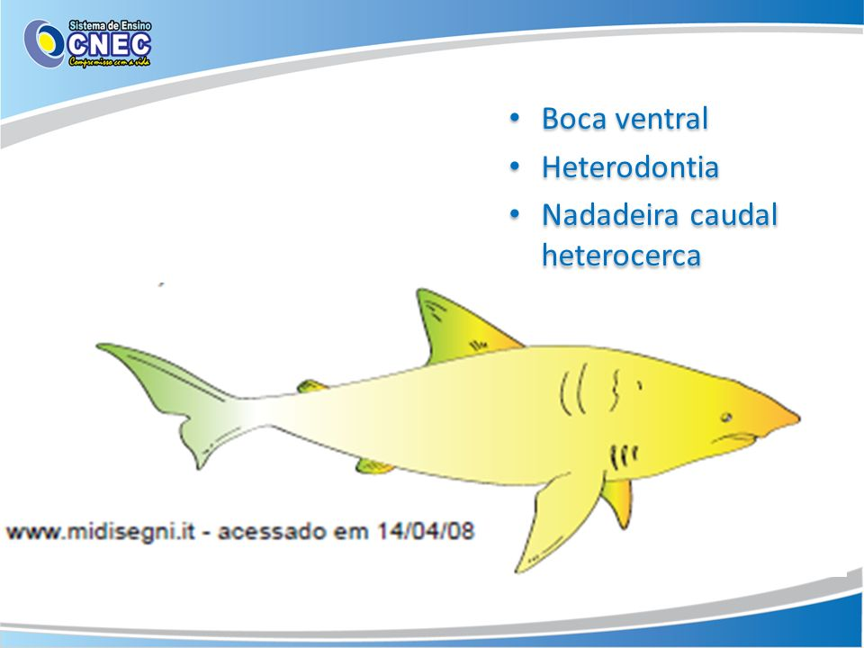 Boca ventral Heterodontia Nadadeira caudal heterocerca