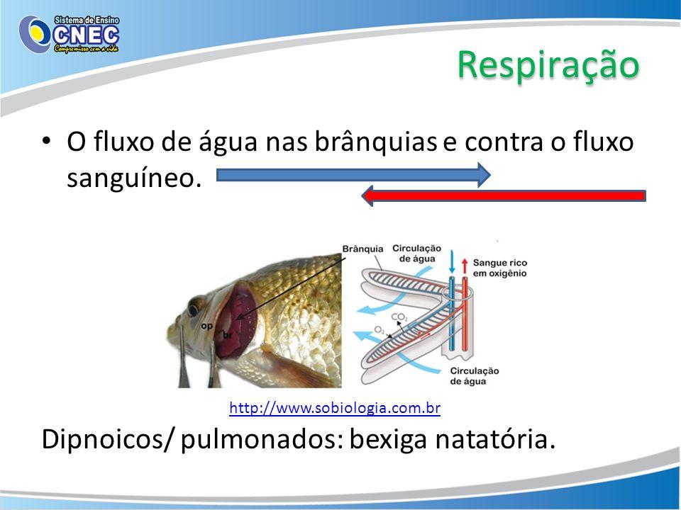 Respiração O fluxo de água nas brânquias e contra o fluxo sanguíneo.