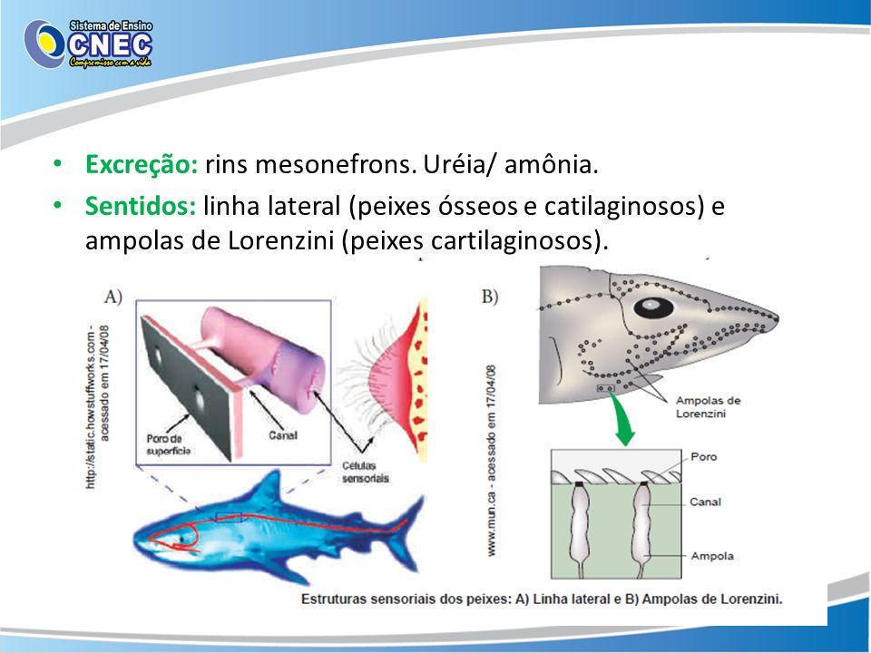 Excreção: rins mesonefrons. Uréia/ amônia.
