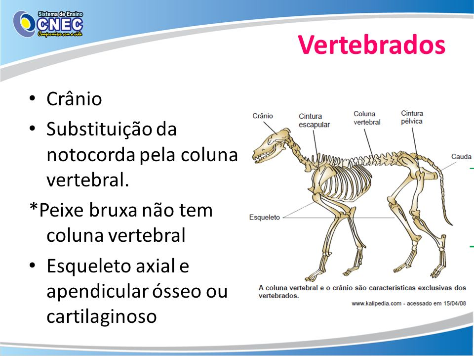 Vertebrados Crânio Substituição da notocorda pela coluna vertebral.