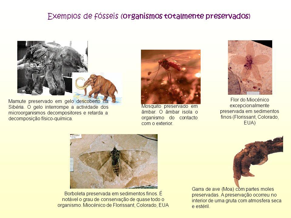 Exemplos de fósseis (organismos totalmente preservados)