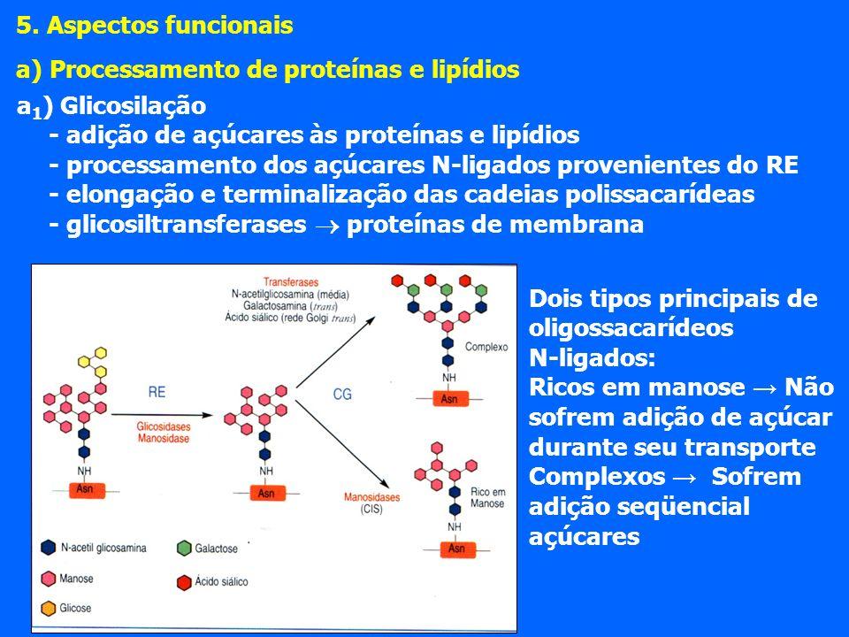 5. Aspectos funcionais a) Processamento de proteínas e lipídios. a1) Glicosilação. - adição de açúcares às proteínas e lipídios.