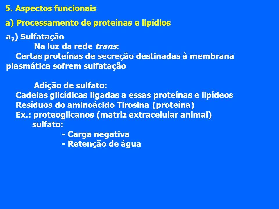 5. Aspectos funcionais a) Processamento de proteínas e lipídios. a2) Sulfatação. Na luz da rede trans: