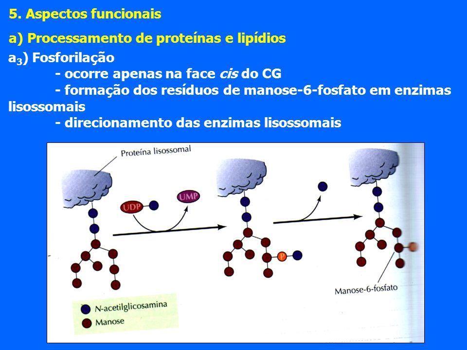5. Aspectos funcionais a) Processamento de proteínas e lipídios. a3) Fosforilação. - ocorre apenas na face cis do CG.