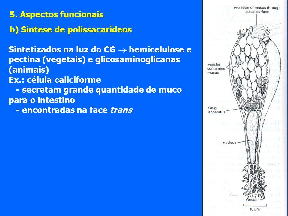 5. Aspectos funcionais b) Síntese de polissacarídeos. Sintetizados na luz do CG  hemicelulose e pectina (vegetais) e glicosaminoglicanas (animais)