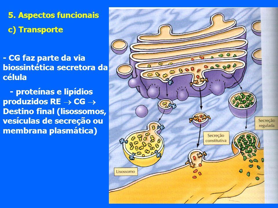 5. Aspectos funcionais c) Transporte. - CG faz parte da via biossintética secretora da célula.