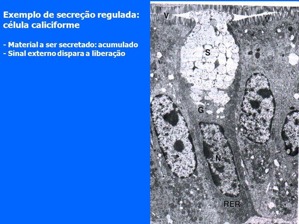 Exemplo de secreção regulada: célula caliciforme