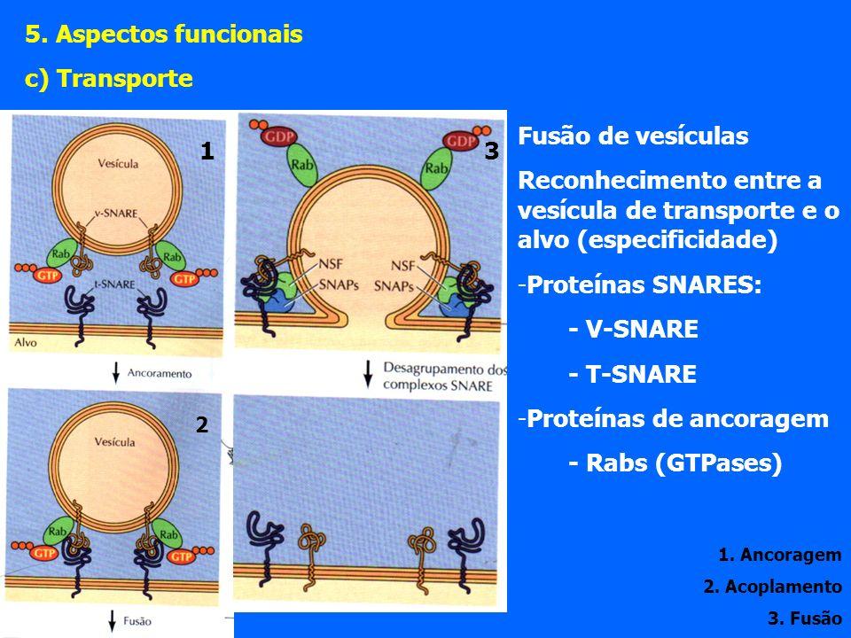 Proteínas de ancoragem - Rabs (GTPases) 1 3