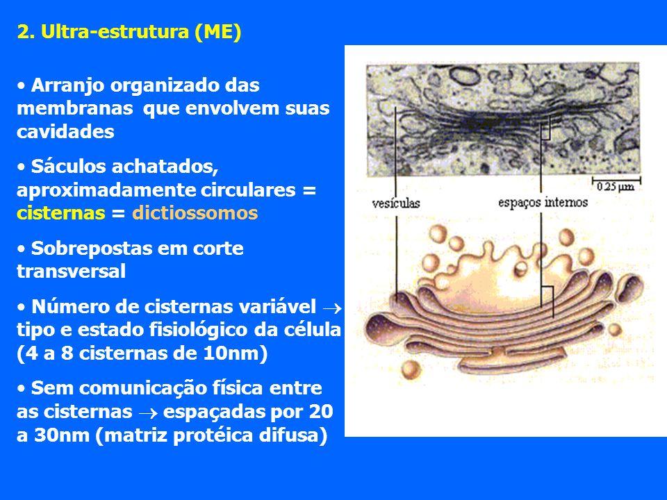 2. Ultra-estrutura (ME) Arranjo organizado das membranas que envolvem suas cavidades.