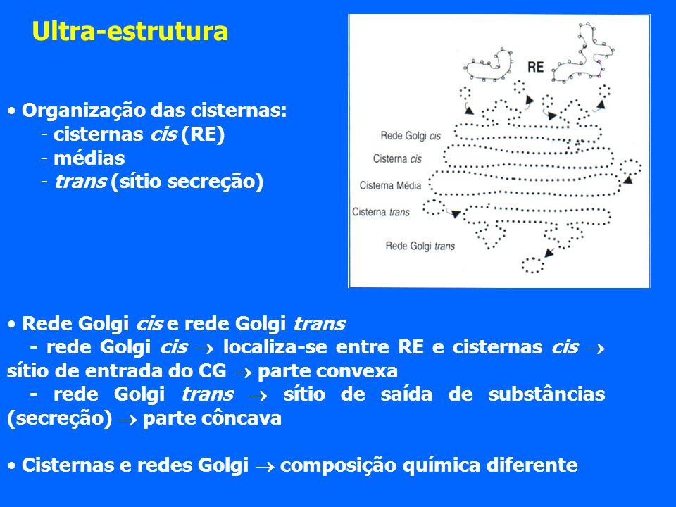Ultra-estrutura Organização das cisternas: cisternas cis (RE) médias