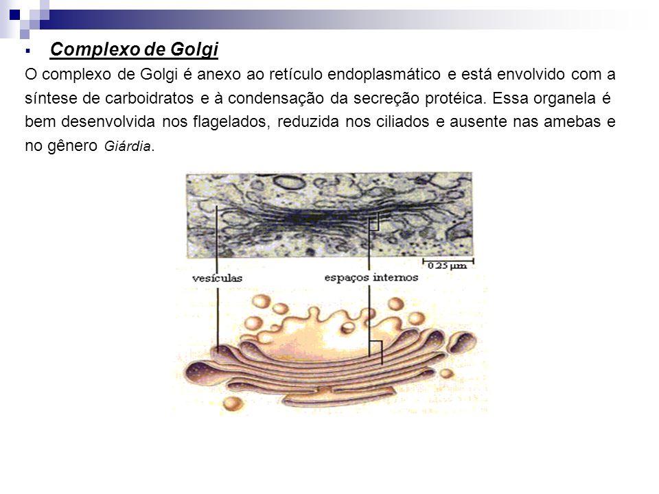 Complexo de Golgi O complexo de Golgi é anexo ao retículo endoplasmático e está envolvido com a.