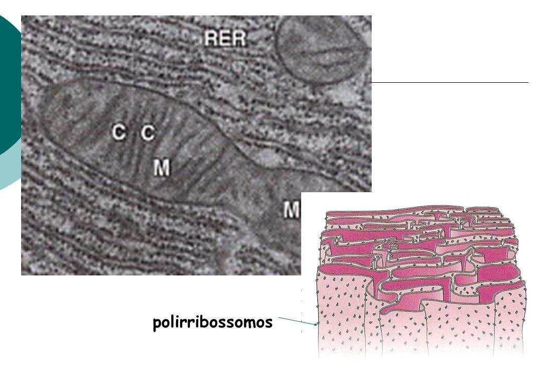polirribossomos