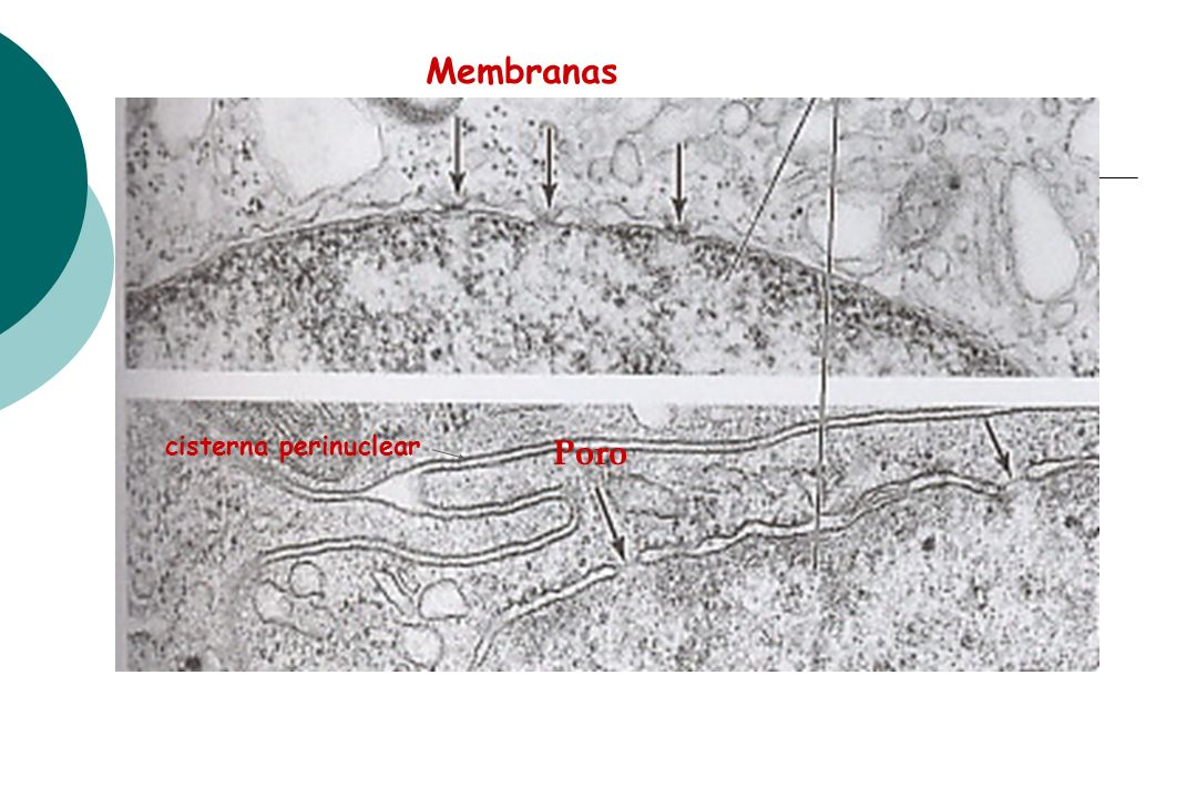 Membranas cisterna perinuclear Poro