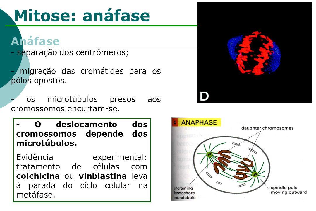 Mitose: anáfase Anáfase - separação dos centrômeros;