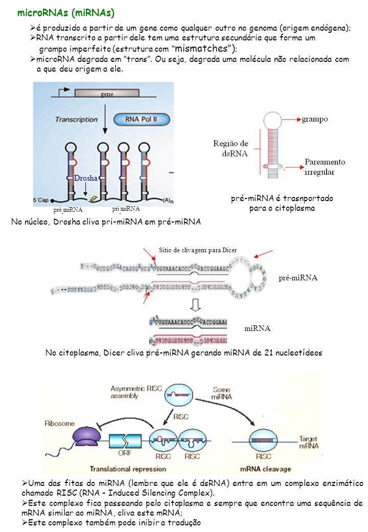 microRNAs (miRNAs) é produzido a partir de um gene como qualquer outro no genoma (origem endógena);