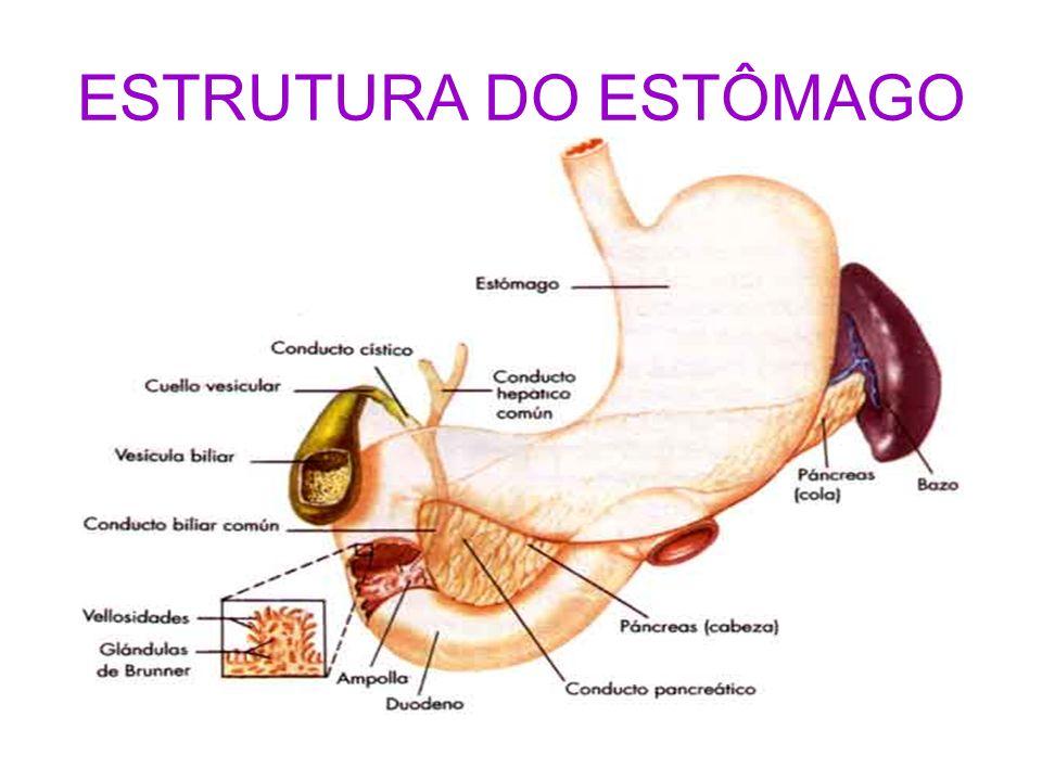 ESTRUTURA DO ESTÔMAGO