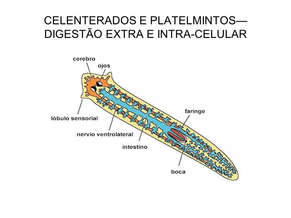 CELENTERADOS E PLATELMINTOS— DIGESTÃO EXTRA E INTRA-CELULAR