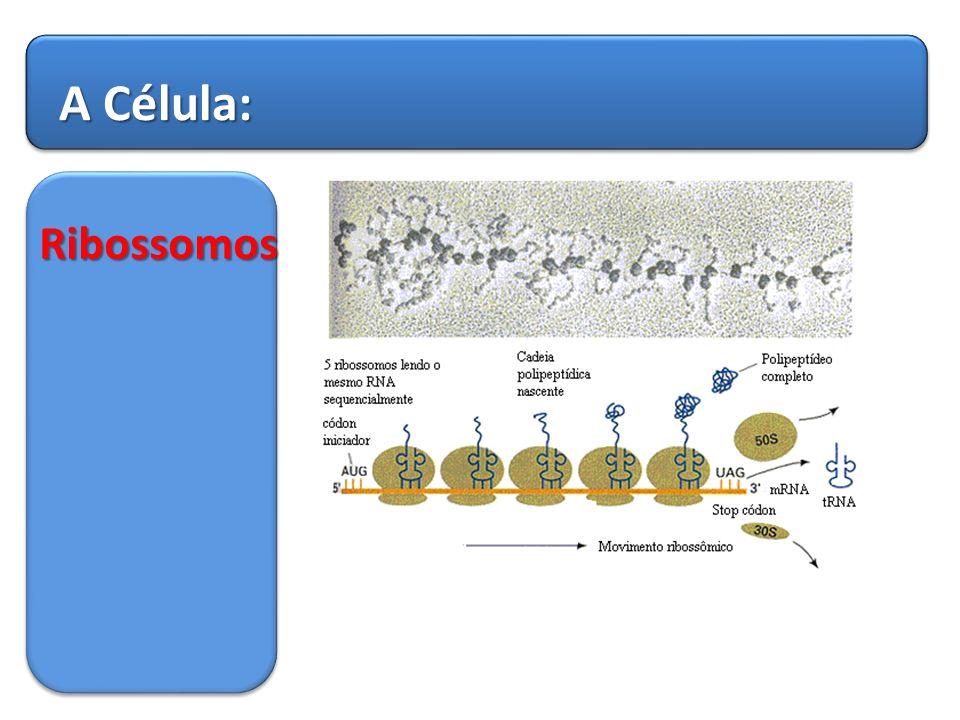 A Célula: Ribossomos