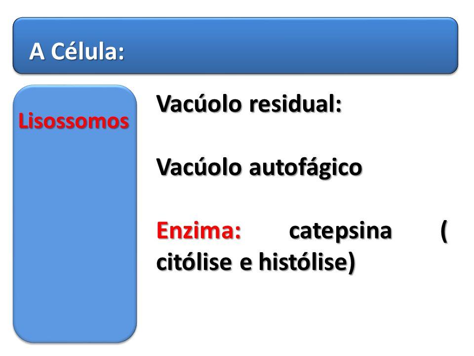 Enzima: catepsina ( citólise e histólise)