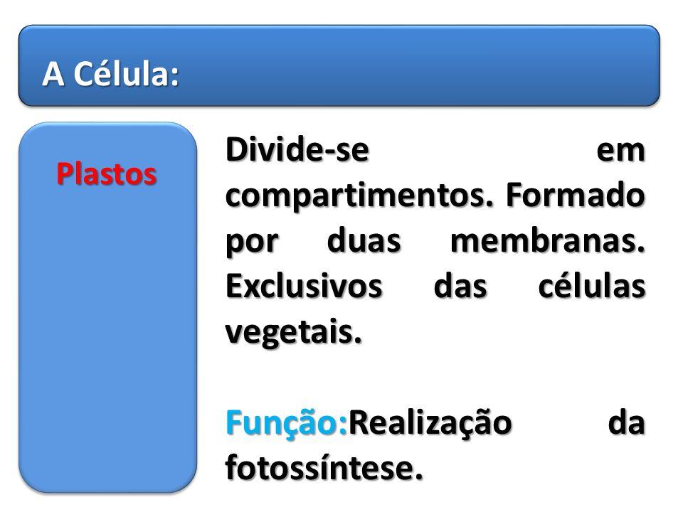Função:Realização da fotossíntese.