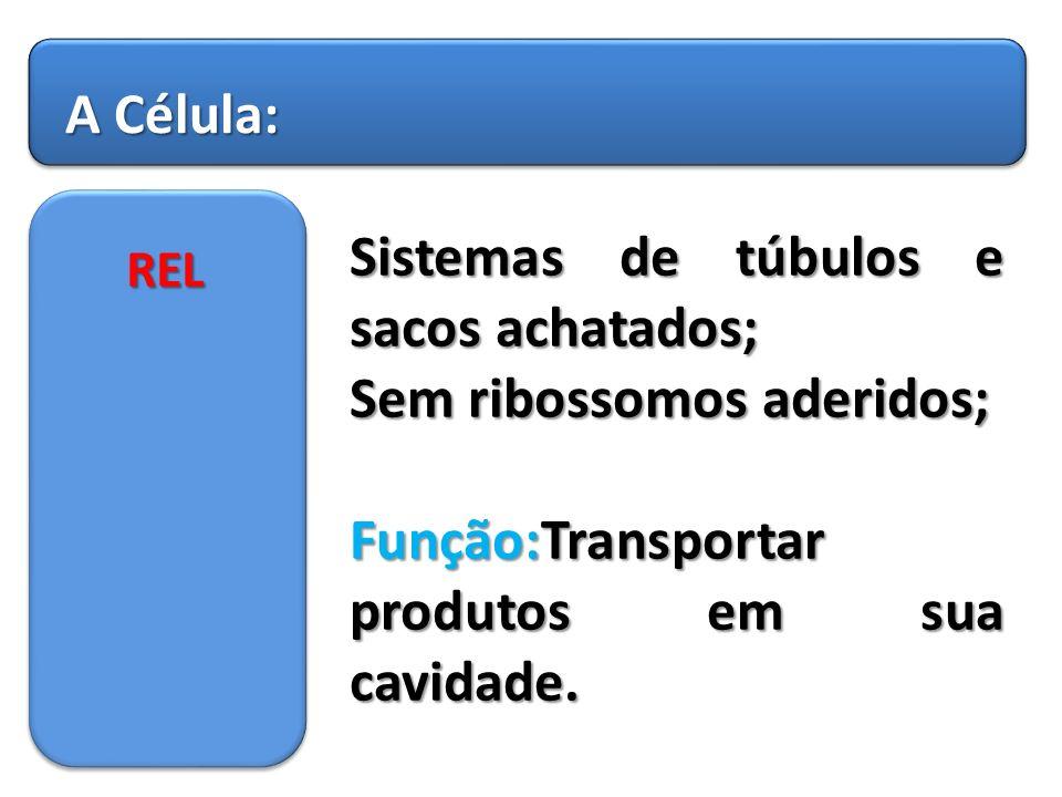 Sistemas de túbulos e sacos achatados; Sem ribossomos aderidos;