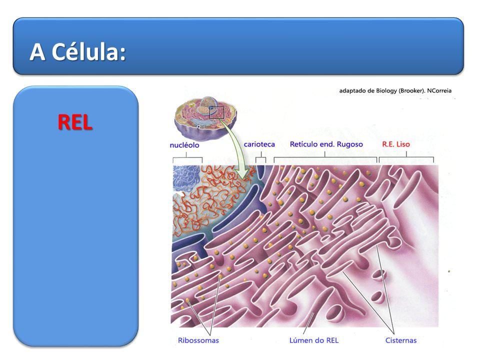 A Célula: REL