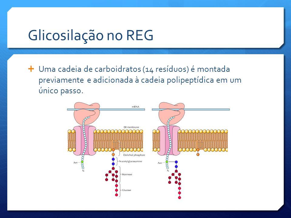 Glicosilação no REG Uma cadeia de carboidratos (14 resíduos) é montada previamente e adicionada à cadeia polipeptídica em um único passo.