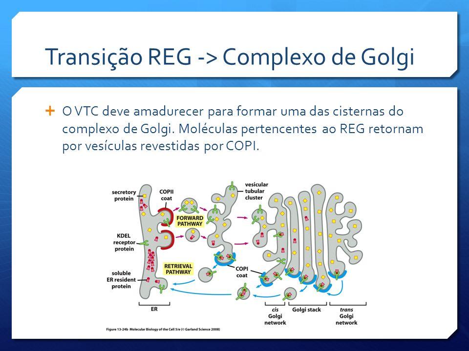 Transição REG -> Complexo de Golgi