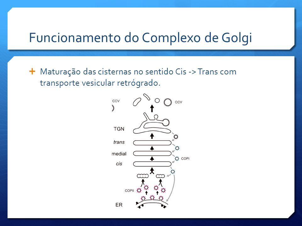 Funcionamento do Complexo de Golgi
