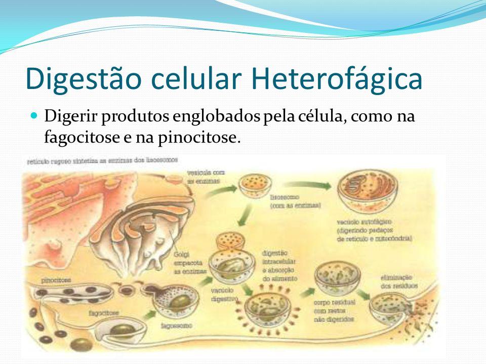 Digestão celular Heterofágica