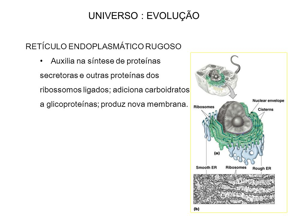 UNIVERSO : EVOLUÇÃO RETÍCULO ENDOPLASMÁTICO RUGOSO
