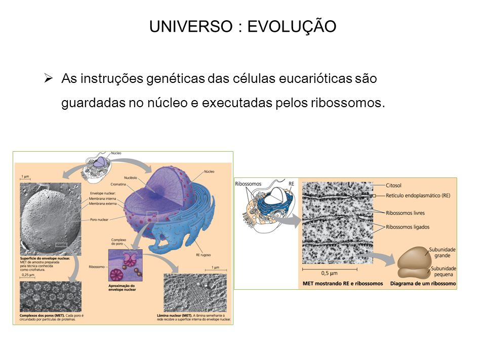 UNIVERSO : EVOLUÇÃO As instruções genéticas das células eucarióticas são guardadas no núcleo e executadas pelos ribossomos.