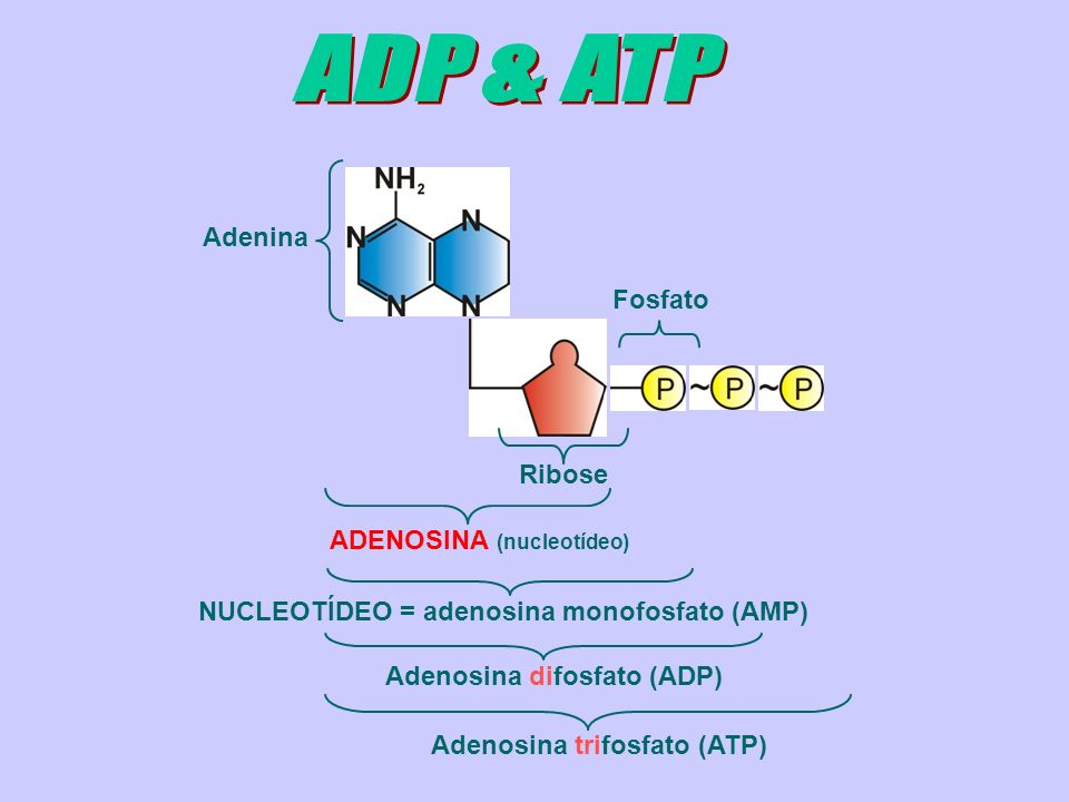 ADP & ATP Adenina Fosfato Ribose ADENOSINA (nucleotídeo)