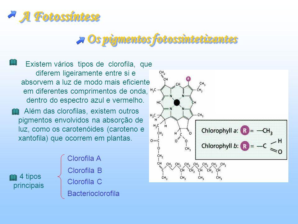 A Fotossíntese Os pigmentos fotossintetizantes