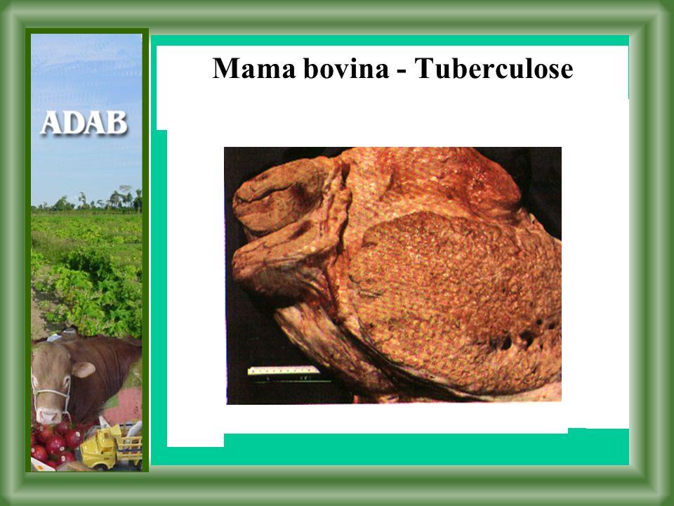 Mama bovina - Tuberculose