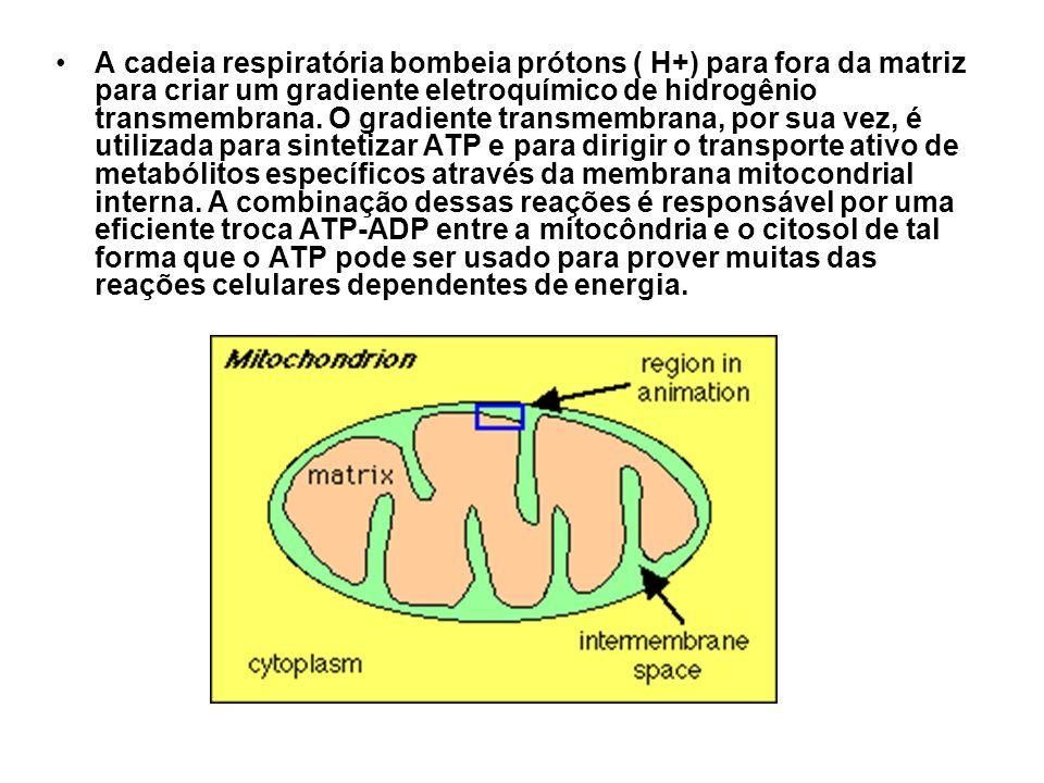 A cadeia respiratória bombeia prótons ( H+) para fora da matriz para criar um gradiente eletroquímico de hidrogênio transmembrana.