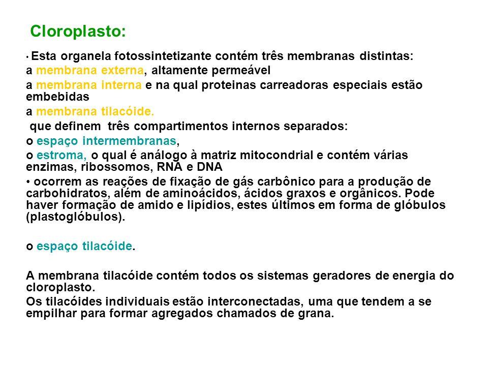 Cloroplasto: a membrana externa, altamente permeável