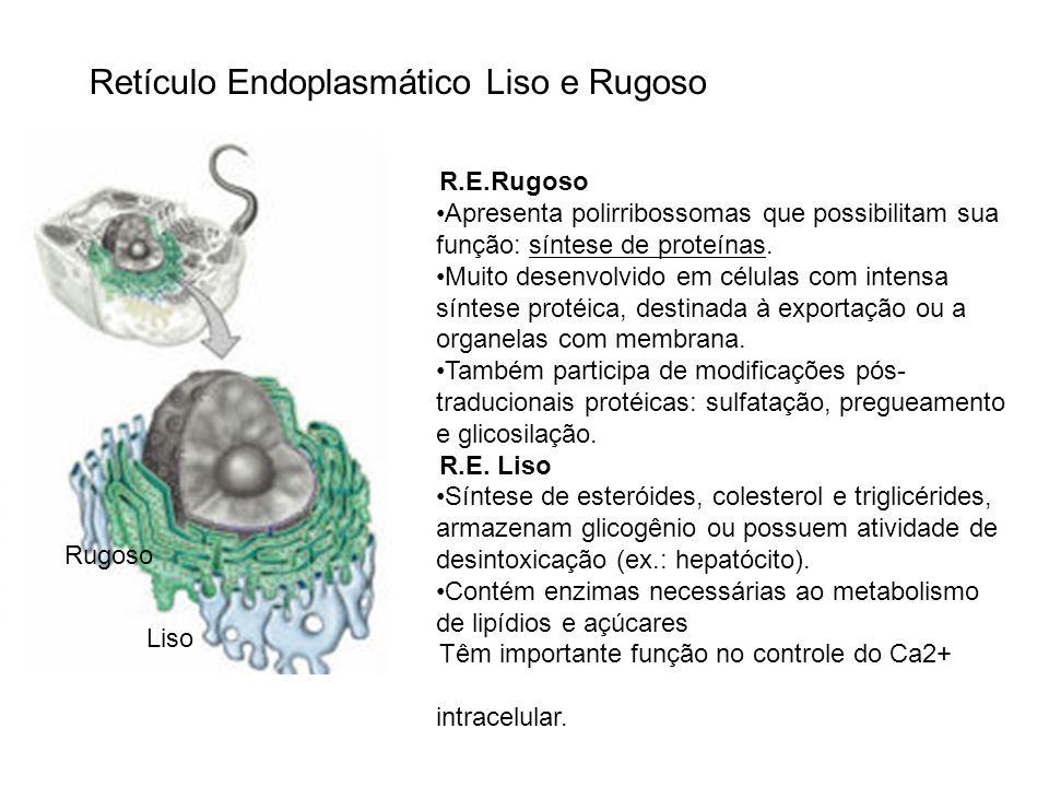 Retículo Endoplasmático Liso e Rugoso