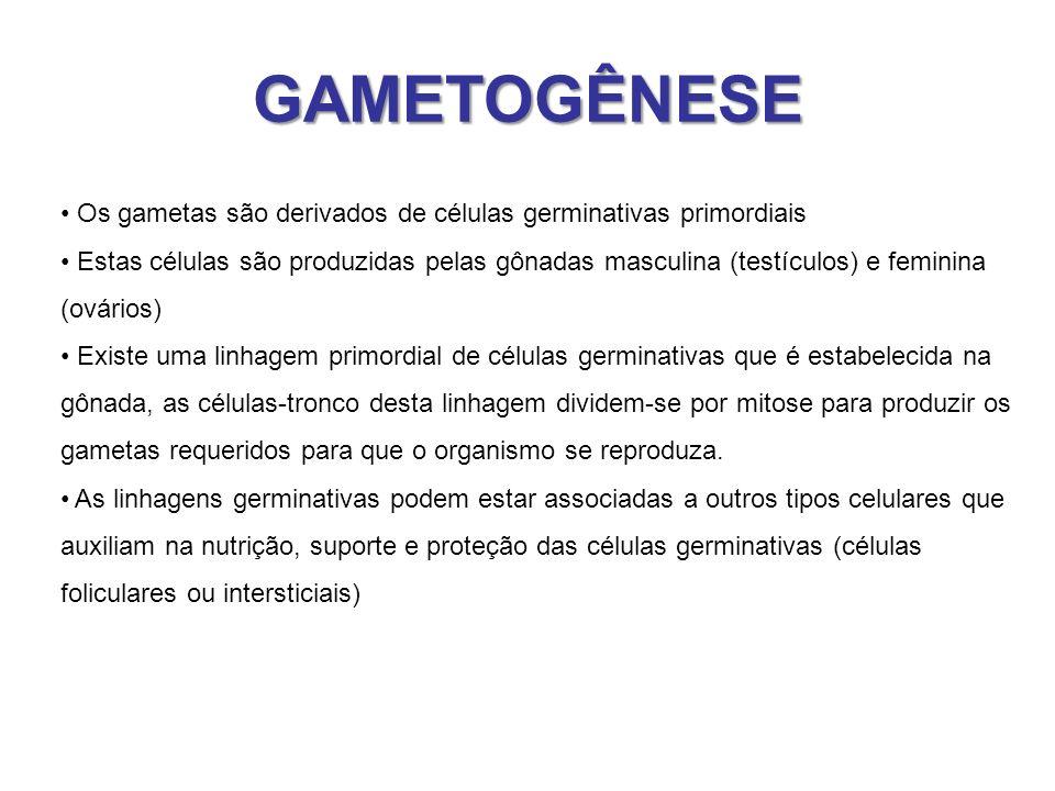 GAMETOGÊNESE Os gametas são derivados de células germinativas primordiais.