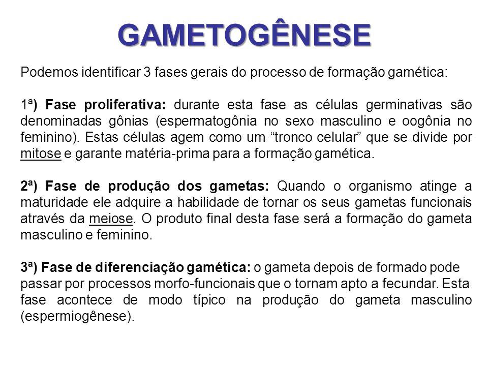 GAMETOGÊNESE Podemos identificar 3 fases gerais do processo de formação gamética: