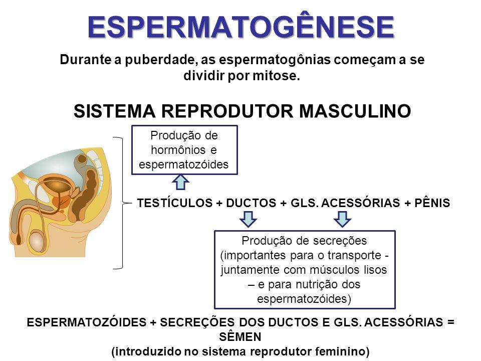 ESPERMATOGÊNESE SISTEMA REPRODUTOR MASCULINO