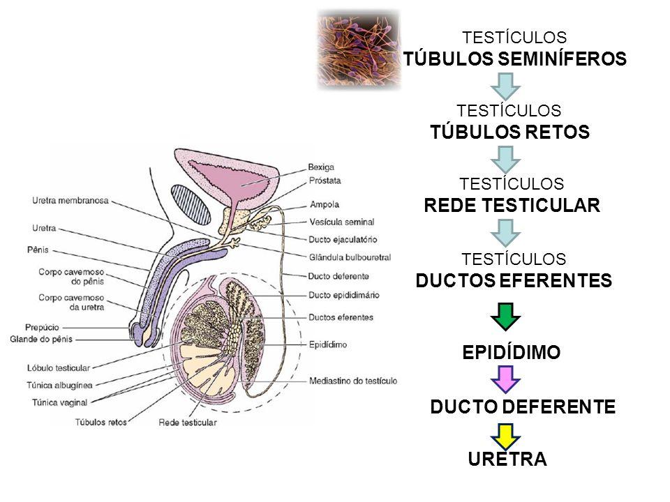 TÚBULOS SEMINÍFEROS TÚBULOS RETOS REDE TESTICULAR DUCTOS EFERENTES