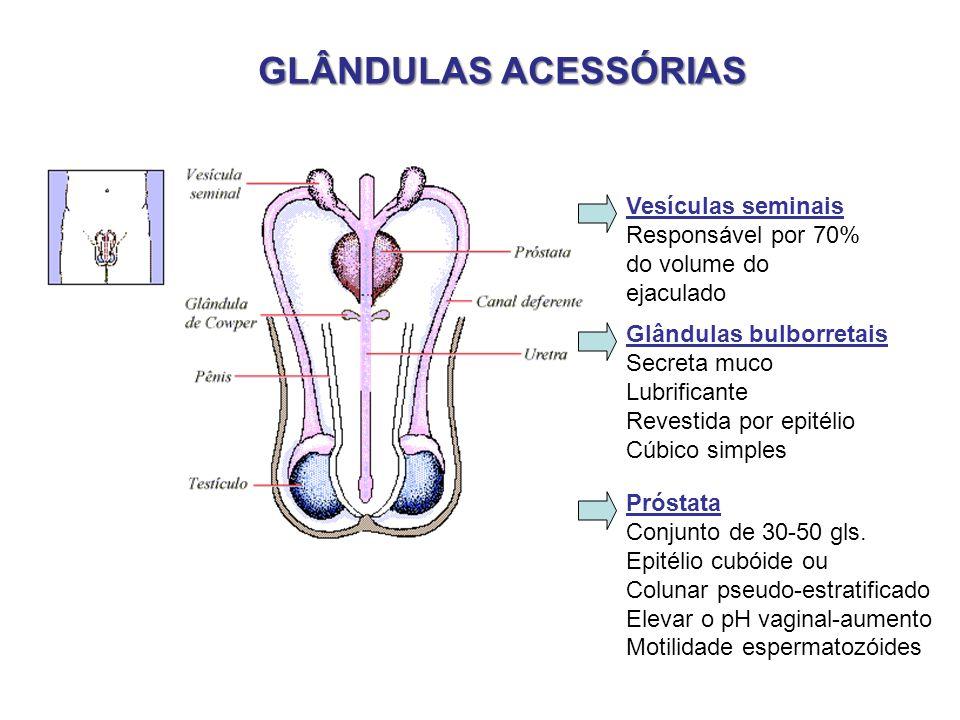 GLÂNDULAS ACESSÓRIAS Vesículas seminais Responsável por 70%