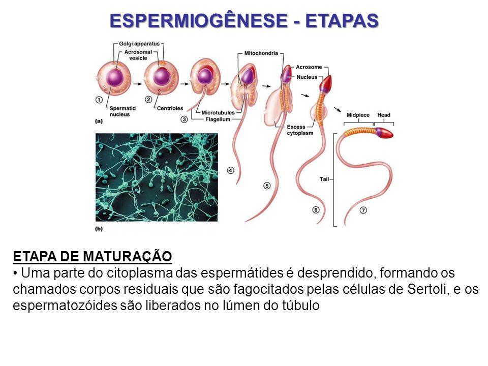 ESPERMIOGÊNESE - ETAPAS
