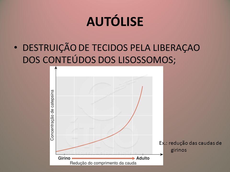 AUTÓLISE DESTRUIÇÃO DE TECIDOS PELA LIBERAÇAO DOS CONTEÚDOS DOS LISOSSOMOS; Ex.: redução das caudas de.