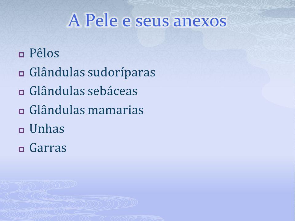 A Pele e seus anexos Pêlos Glândulas sudoríparas Glândulas sebáceas