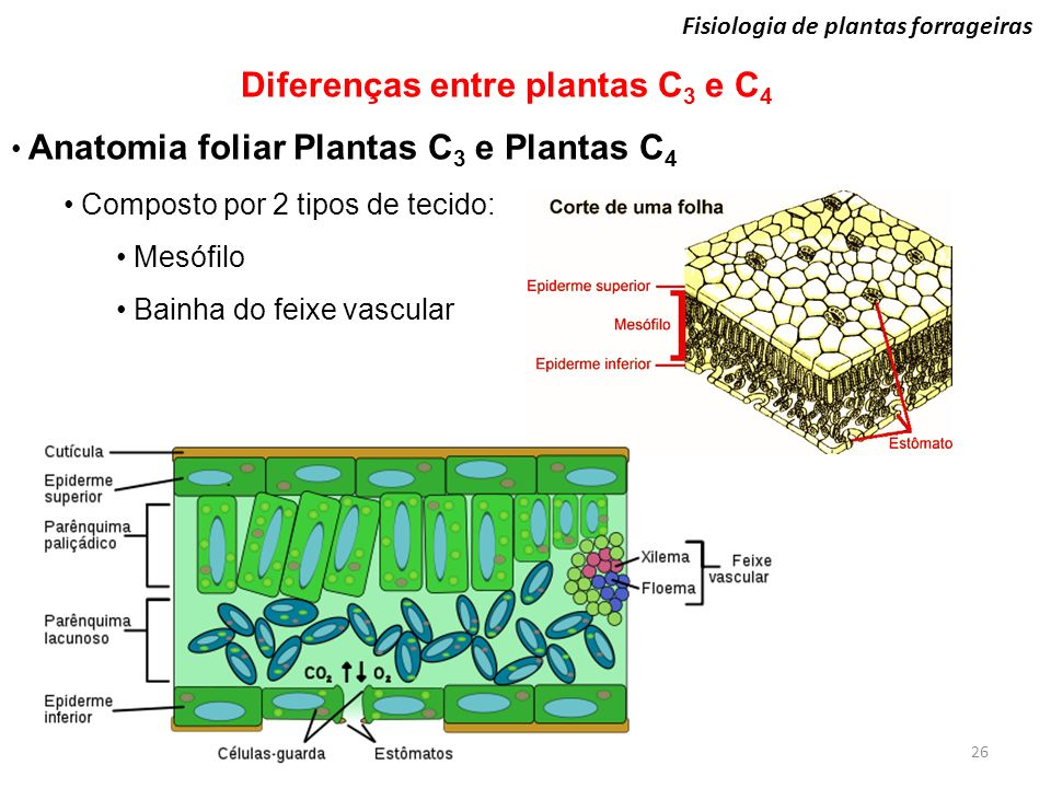 Famoso C3 Hoja Anatomía Imagen - Anatomía de Las Imágenesdel Cuerpo ...