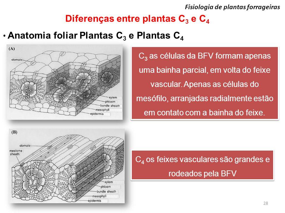 C4 os feixes vasculares são grandes e rodeados pela BFV
